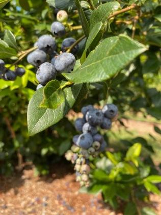 BLUEBERRY FARMIMG_2709