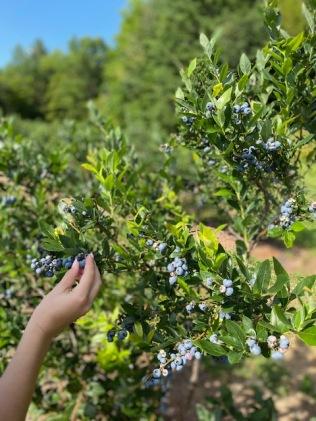 BLUEBERRY FARMIMG_2711